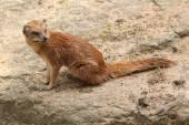 żółty mongoose (cynictis penicillata) — Zdjęcie stockowe