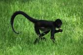 Geoffroy's spider monkey (Ateles geoffroyi).   — Stock Photo