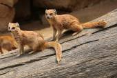 Yellow mongooses (Cynictis penicillata) — Stock Photo