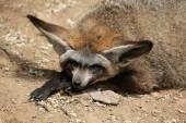 Bat-eared fox (Otocyon megalotis). — Stock Photo