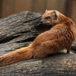 Yellow mongoose (Cynictis penicillata) — Stock Photo #75652689