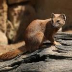 Yellow mongoose (Cynictis penicillata) — Stock Photo #75652737