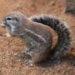 Cape ground squirrel (Xerus inauris). — Stock Photo #75652747