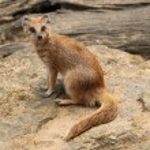 Yellow mongoose (Cynictis penicillata) — Stock Photo #75652829