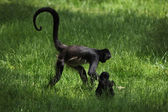 Geoffroy's spider monkeys (Ateles geoffroyi). — Stock Photo