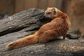 Yellow mongoose (Cynictis penicillata) — Stock Photo