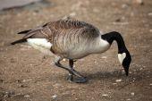 Canada goose (Branta canadensis). — Stock Photo