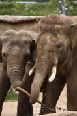 Indian elephants (Elephas maximus indicus) — Stock Photo