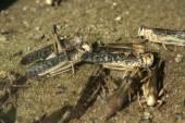 砂漠のイナゴ (サバクトビバッタ). — ストック写真