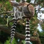 Ring-tailed lemurs (Lemur catta) — Stock Photo #76024327