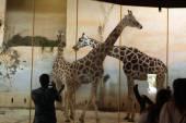 Rothschild's giraffes at Prague Zoo — Stock Photo
