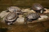 European pond turtles (Emys orbicularis) — Stock Photo
