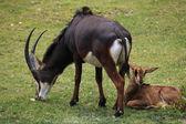 Sable antelopes (Hippotragus niger) — Stock Photo