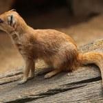 Yellow mongoose (Cynictis penicillata) — Stock Photo #76349595