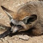 Bat-eared fox (Otocyon megalotis). — Stock Photo #76349629