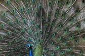 Indian peafowl (Pavo cristatus) — Stock Photo