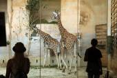 Visitors look at the Rothschild's giraffes — Stock Photo
