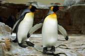 Funny King penguins — Stock Photo