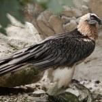 Wild Bearded vulture — Stock Photo #77414156