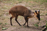 Cute Chinese muntjac — Stock Photo