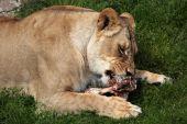 Katanga lion (Panthera leo bleyenberghi) — Stock Photo