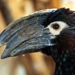 Wild Trumpeter hornbill — Stock Photo #77842534