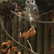 Southern white-faced owl — Stock Photo #77842648