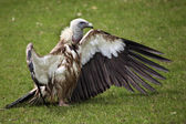 Himalayan vulture (Gyps himalayensis) — Stock Photo