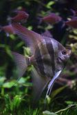 Deep Orinoco Angelfish — Stock Photo