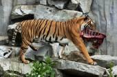 Panthera tigris jacksoni — Stockfoto