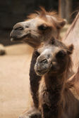 Domestic Bactrian camel — Stock Photo