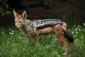 Black-backed jackal (Canis mesomelas) — Stock Photo
