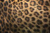 Panthera pardus japonensis — Stock Photo