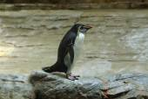 Northern rockhopper penguin — Stock Photo
