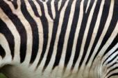 Hartmann's mountain zebra — Stock Photo