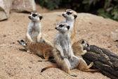 Meerkat (Suricata suricatta), also known as the suricate. — Stock Photo