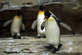 Wild King penguin — Stock Photo
