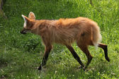 Maned wolf in field — Stock Photo