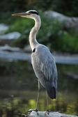Great blue heron — Stock Photo