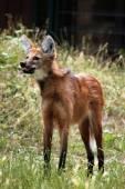 Dziki wilk grzywiasty — Zdjęcie stockowe