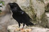 Selvaggio Corvo comune — Foto Stock
