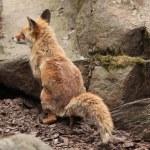 Постер, плакат: Wild Red fox