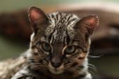 Wild Geoffroy's cat — Stock Photo