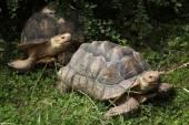 Wild African spurred tortoise — Stock Photo