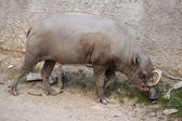 Wild Sulawesi babirusa — Stock Photo