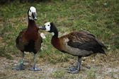 Wild White-faced whistling duck — Stock Photo