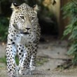 Persian leopard in zoo — Stock Photo #80377462