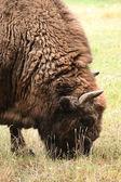 European bison animal — Stock Photo