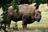 European bison animal — Stock Photo