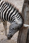 Burchell's zebra head — Stock Photo